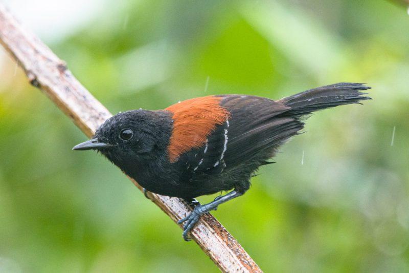 formigueiro-de-cabeça-negra (Formicivora erythronotus) João Rafael Marins-2